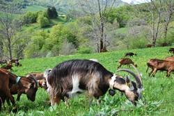 Chèvres Ladonne Mandailles