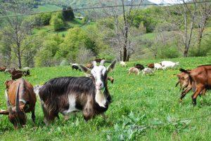 Tome de chèvre Ladonne ,, le Mandailles